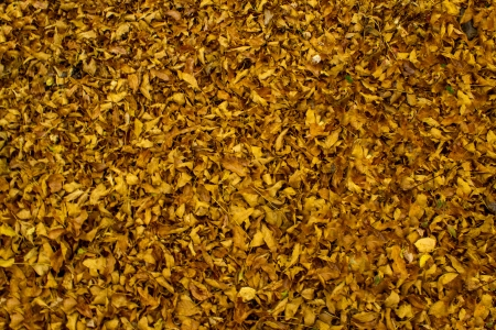 A fall background of yellow leaves