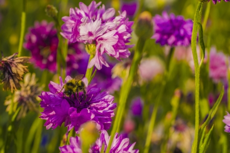 A bumble bee works hard at a pink flower