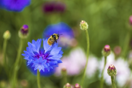 A honey bee takes flight off of a blue flower