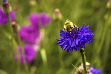 A honey bee works on a purple flower Stock Photo