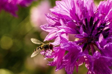 A fly stops to drink dew off of a flower