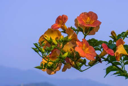 ���clear sky���: orange flower clear sky