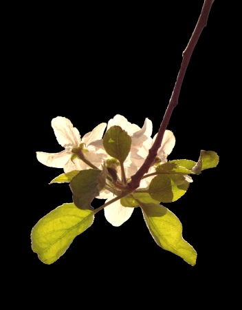 A sun-drenched apple blossom, a delightful harbinger of spirng