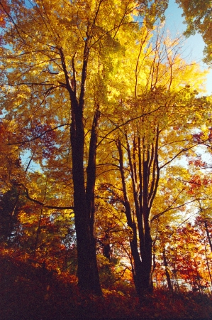 Autumn trees show off their golden colors along a forest path in southwestern Michigan   If