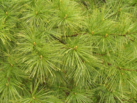 White pine needles form a verdant abstract pattern