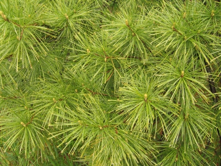 White pine needles form a soft abstract pattern
