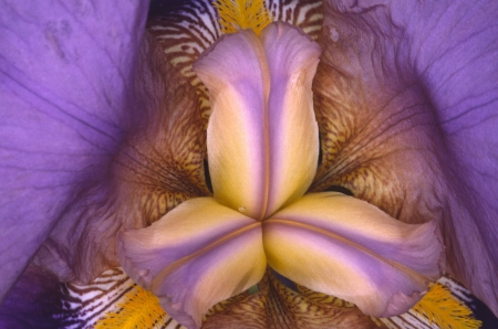 Close-up of an iris blossom creates an abstract kaleidoscope of colors