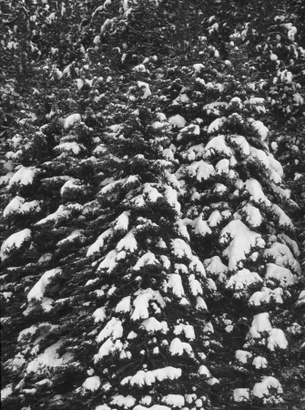 Snow on a row of conifers creates an abstract wintry pattern  Stock Photo
