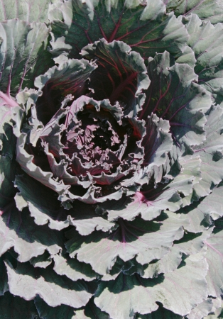 An ornamental cabbage plant creates an abstract pattern of texture  Stock Photo