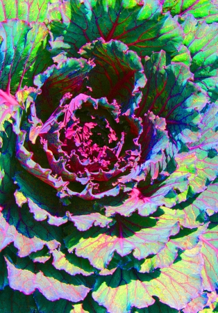 An ornamental cabbage plant creates an abstract patter of texture