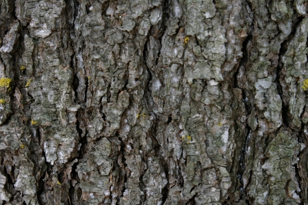 The bark of a white pine tree creates an abstract pattern