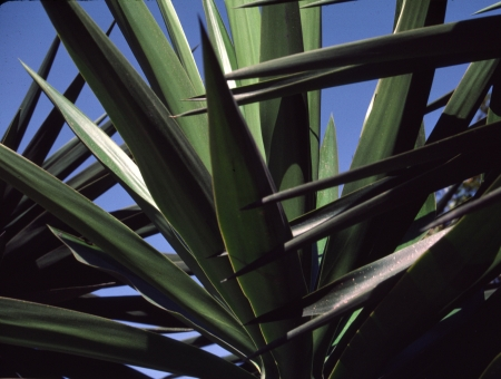 A crosshatch of yucca leaves weaves an abstract pattern