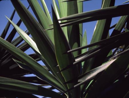Un sombreado de las hojas de yuca teje un patr�n abstracto