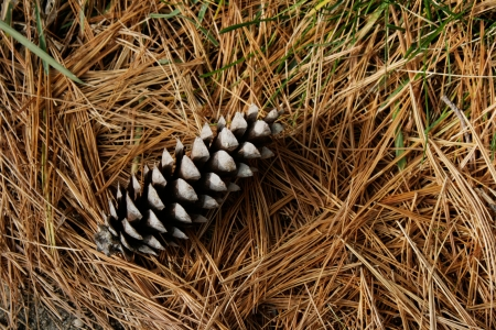 A single white pine cone lies on a bed of dry pine needles and grass