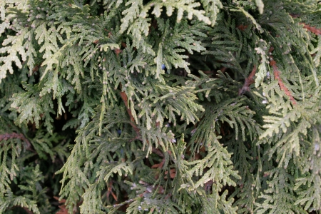 An arborvitae hedge creates an abstract pattern