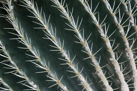 Las l�neas de espinas de un cactus barril de oro crean un patr�n abstracto