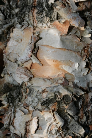 Frilly birch bark creates an interesting abstract pattern