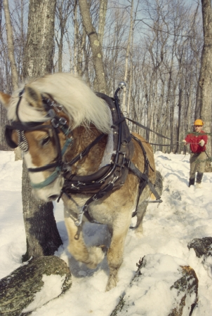 A teamster guides his horse, which is dragging a log through the woods toward a collection point. Editorial