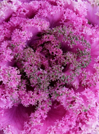 A closeup of the head of an ornamental cabbage plant creates an abstract patter of texture