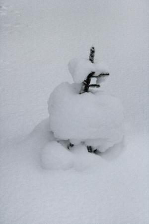 A small spruce tree pokes out of deep snow
