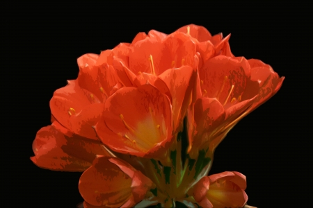 A painterly rendering of a cluster of clivia miniata blossoms announce the arrival of spring
