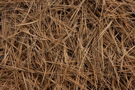 Dry white pine needles create an abstract background pattern