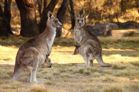 marsupial: Mother Wallabies with Joeys Stock Photo