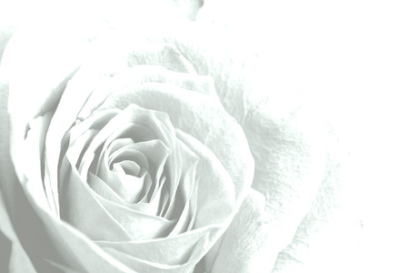 White rose flower background empty copy space for editors text stock photo white rose flower background empty copy space for editors text mightylinksfo