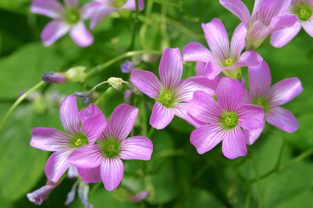 trifolium: Trifolium, clover flower macro.