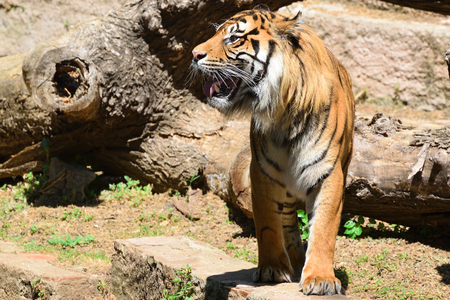 Un tigre mâle rayé rugissant montrant ses défenses. Espace copie vide pour le texte de l'éditeur. Banque d'images - 76330406