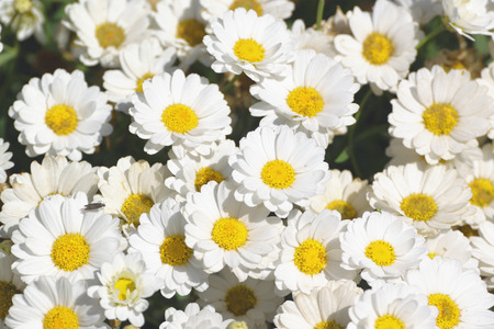 Some white marguerite flowers. Daisy garden with open petals and yellow stamens. Floral background.