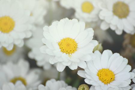 Sommige witte marguerite bloemen. Daisy garden met open bloemblaadjes en gele meeldraden. Florale achtergrond.