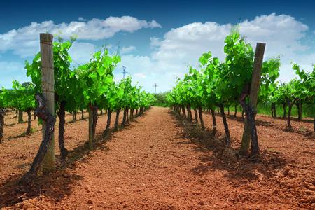 Wijngaard in een rode aardcultuur en groene wijnstokken die rijen vormen. Blauwe lucht en sommige wolken met wat lege kopie ruimte voor tekst van de redactie.