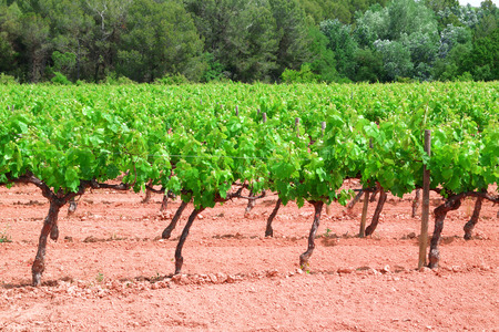 Vineyard in a red earth cultivation and green grapevines forming rows.