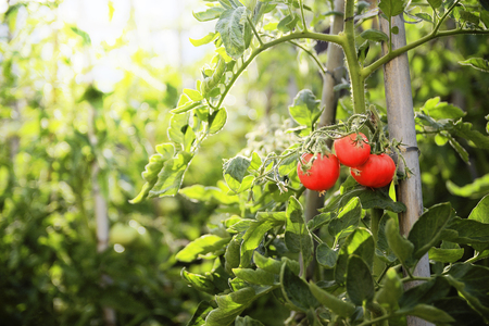 Three red ripe tomatoes hanging on a branch of a green plant in the orchard. Sun light at sunset time. Empty copy space for Publisher's text. Banque d'images