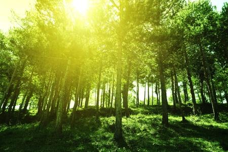 Zonlicht gooit de boomstammen van een dennenbos. Natuurlijke omgeving achtergrond. Lege kopie ruimte voor de tekst van de uitgever.