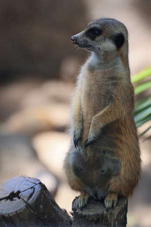 Meerkat caring of the family members. Empty copy space for Publisher's text. Banque d'images