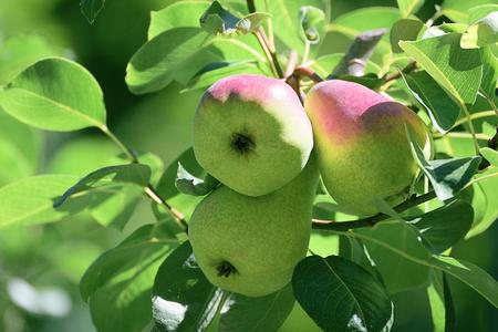 Drie peren opknoping op een tak van een boom in de boomgaard. Landelijke achtergrond met een lege exemplaarruimte voor de tekst van de Redacteur. Stockfoto