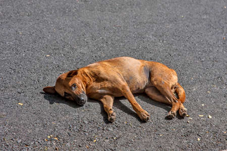 Dog lies on the road