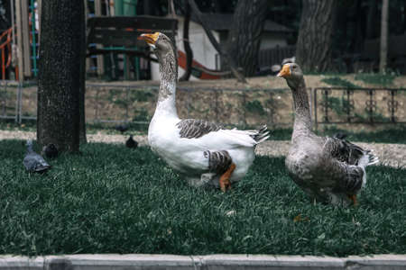 Two geese are walking on green grass