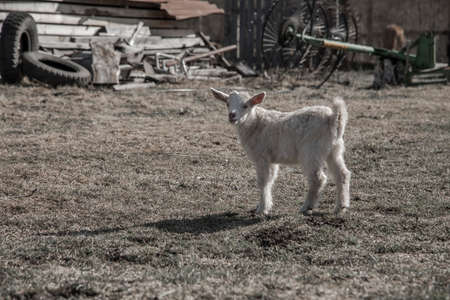 A little goat is standing on the grass. Sunny day. Farm animal on the farm. Stock Photo