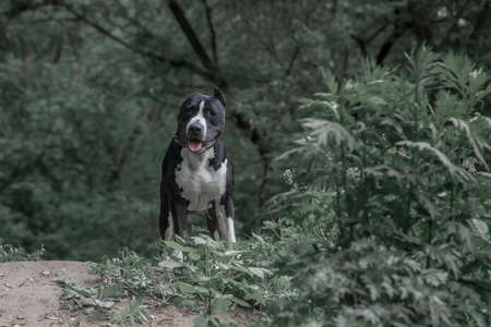 A beautiful black and white dog stands next to the bushes in the forest. American Staffordshire Terrier. Green nature.