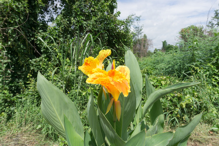 sukhothai: Canna flower on Sukhothai road side,Thailand Stock Photo