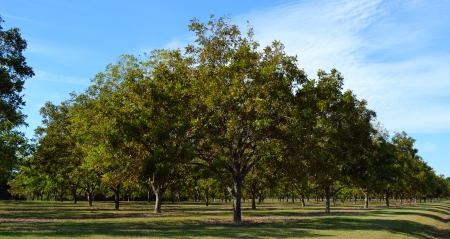 Young Pecan Orchard Stockfoto