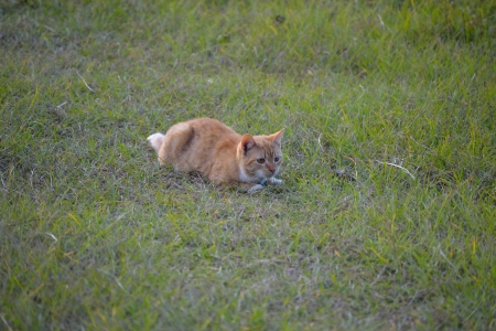 Orange cat in the grass ready to pounce photo