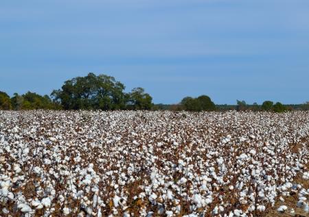 Field of cotton ready to harvest 免版税图像