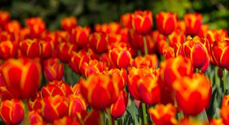 Tulips iin spring