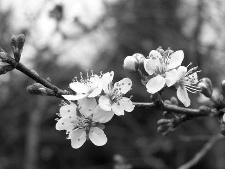 Cherry Blossoms Black And White Stock Photo
