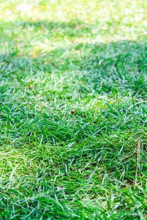Detail close up of natural green grass carpet in the floor outdoors in a park
