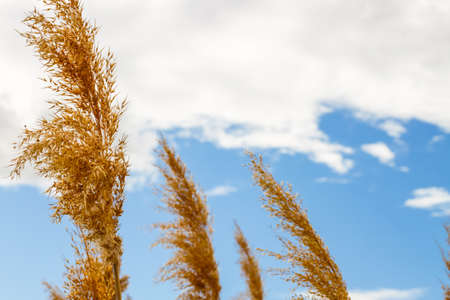 Some wheat ears moving with the wind in a cloudy but beautiful blue sky in the spring time Stockfoto